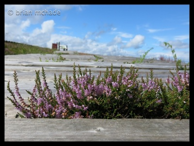 heather growing through the Northshore....