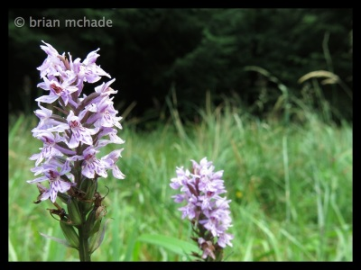 another pretty one, a  wild orchid....